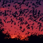 mexican_free_tailed_bats-flying
